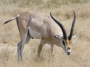 Grant's gazelle - Image: Ngorongoro Grant Gazelle