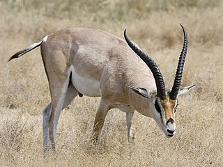 Grants gazelle species of mammal