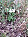 Nigella arvensis sl1.jpg