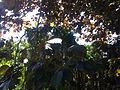 Noisetier, conifères et lilas à Grez-Doiceau 001.jpg