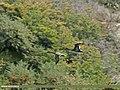 Northern Pintail (Anas acuta) (24815737176).jpg