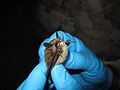 Northern long-eared bat with visible symptoms of WNS (8510784764).jpg