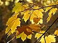 Norway Maple (30896665400).jpg