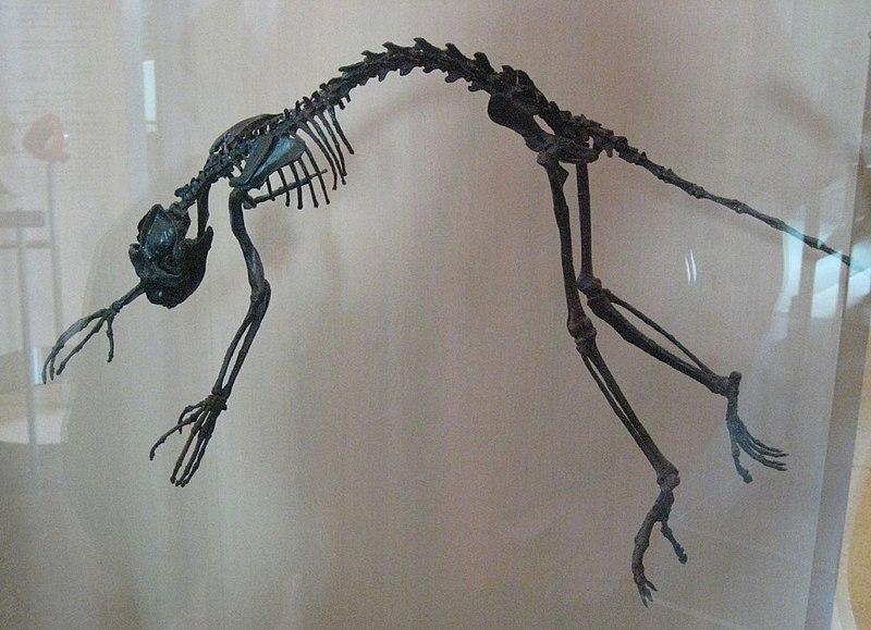 Notharctus tenebrosus AMNH.jpg