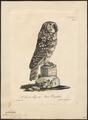 Nyctala funerea - 1825-1834 - Print - Iconographia Zoologica - Special Collections University of Amsterdam - UBA01 IZ18400221.tif