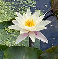 Nymphaea alba-Flower.jpg