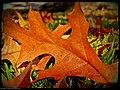 Oak Leaf - Flickr - pinemikey.jpg