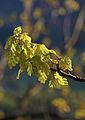 Oak in evening light (3523442696).jpg