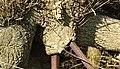 Oak tree callus growth, Long Glen, Minishant, South Ayrshire, Scotland.jpg