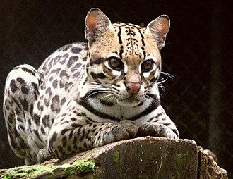 Leopardus - Ocelot, Leopardus pardalis