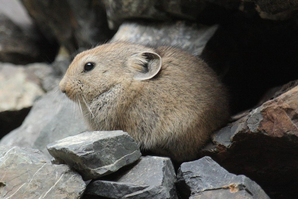 The average litter size of a Pallas's pika is 7