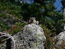 Un pica americano osserva il suo territorio da una postazione rocciosa: molte specie di pica sono territoriali.