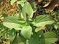 Ocimum basilicum Sweet Basil, Common Basil, Thai Basil at Wayanad 2019 (1).jpg
