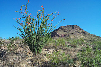 Phoenix Mountains - Ocotillo below Lookout Mountain, Phoenix