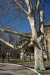 Odesa London Plane at Palais-Royal garden 51-101-5040 SAM 2813.jpg