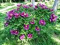 Odessa Botanic Garden Tree peony 05.jpg