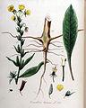 Oenothera biennis — Flora Batava — Volume v10.jpg