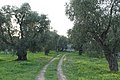 Olive Groves in Puglia Countryside - panoramio (7).jpg