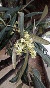 Olive blossoms 001.jpg