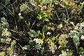 Ophioglossum-vulgatum-habitat.jpg