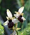Ophrys exaltata zingaro 112.jpg