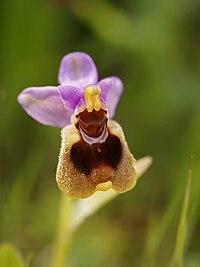 Ophrys tenthredinifera (inflorescense).jpg