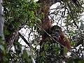 Orang Hutan (8188397204).jpg