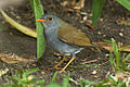 Orange-billed Nightingale-Thrush - Panama H8O1767 (16612451064).jpg
