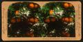 Orange Blossoms and Fruit, Los Angeles, Cal., U.S.A, by Singley, B. L. (Benjamin Lloyd) 5.png