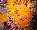 Orange Sun Coral Tubastrea faulkneri (7963297902).jpg