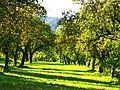 Orchard - panoramio (7).jpg