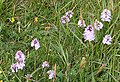 Orchids - geograph.org.uk - 475633.jpg