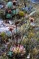 Orectanthe sceptrum flower2.jpg