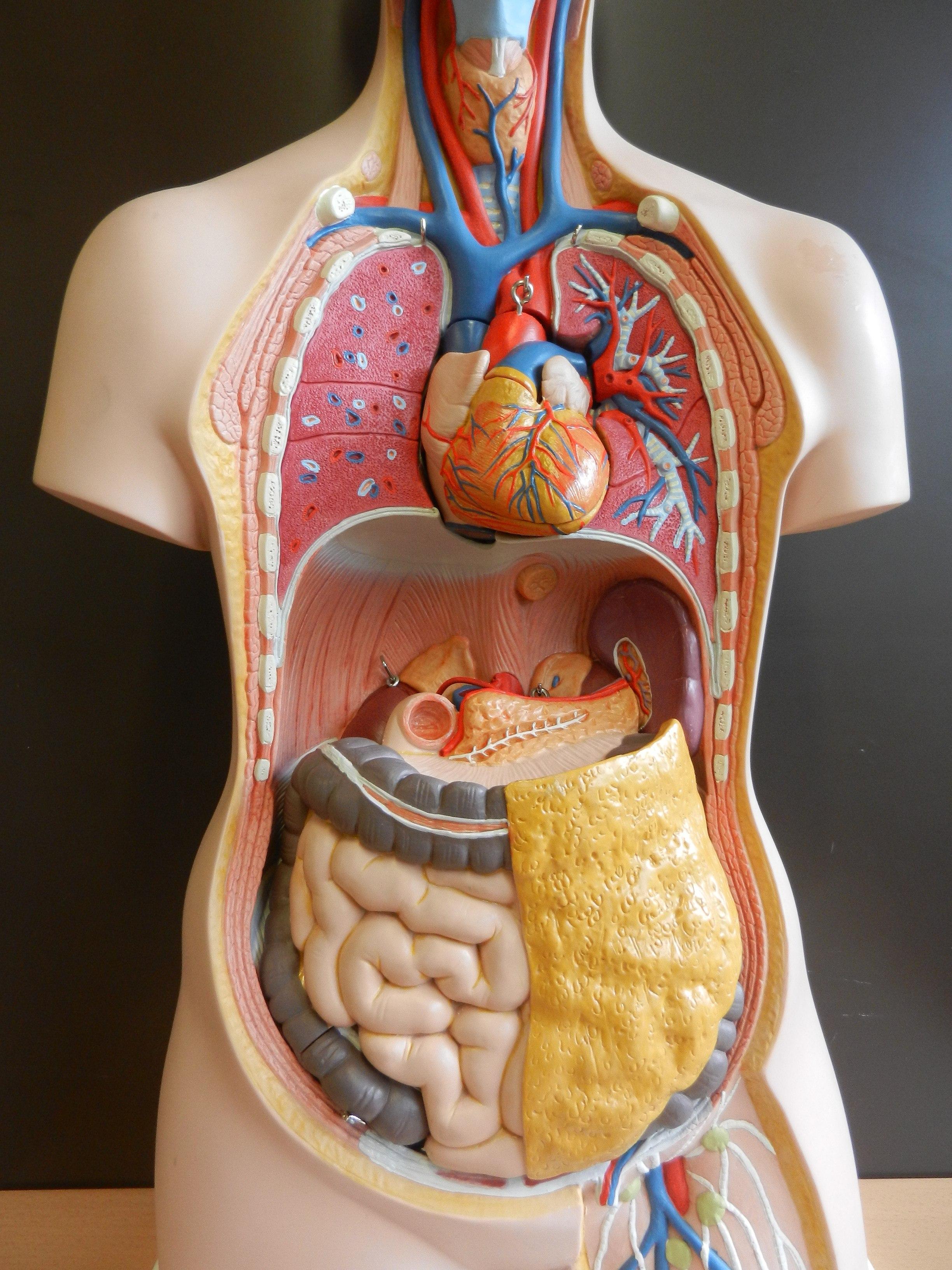 Berühmt Anatomie Organe Bauch Ideen - Menschliche Anatomie Bilder ...