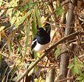 Oriental Magpie Robin. Copsychus saularis - Flickr - gailhampshire.jpg