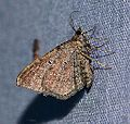 Orthonama obstipata – Gem Moth2 (13791995894).jpg