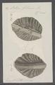 Ostrea folium - - Print - Iconographia Zoologica - Special Collections University of Amsterdam - UBAINV0274 074 08 0028.tif