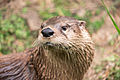 Otter Looking Back (17939094316).jpg