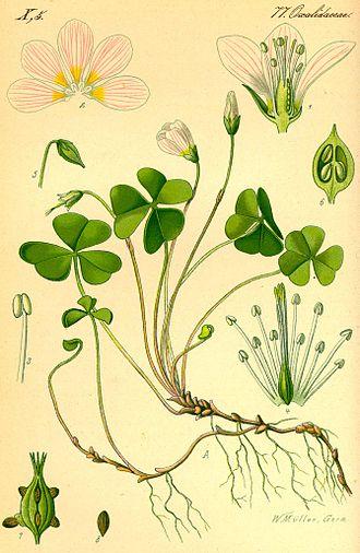 Oxalis acetosella - Oxalis acetosella, Otto Wilhelm Thomé Flora von Deutschland Österreich und der Schweiz (1885)