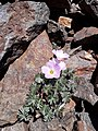 Oxalis adenophylla true.jpg