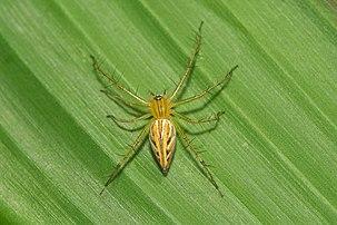 Fêmea de Oxyopes javanus, uma aranha da família Oxyopidae, conhecida popularmente como aranha-lince.  (definição 6000×4000)