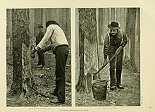 """Side-by-side photo and print each show men working on cutting a so-called """"cat-face"""" into a longleaf pine tree to extract resin. The two men in the photo on the left are of African decent and the man in the pringing on the right shows lighter skin."""