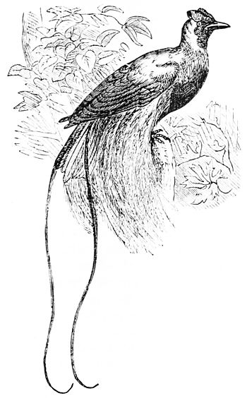 Bird Of Paradise Drawing Popular Science Monthlyvolume 5