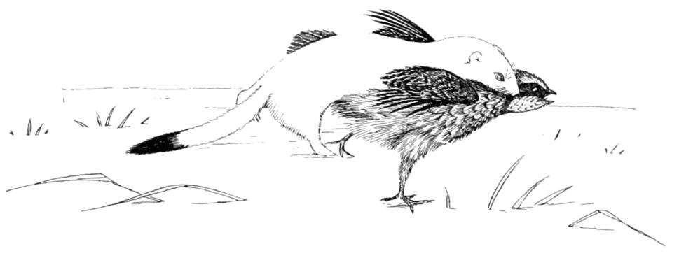 PSM V54 D814 Weasel attacking bird
