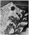 PSM V73 D126 Fossil incense cedar heyderia coloradensis.png