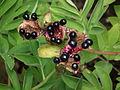 Paeonia officinalis 2011.JPG
