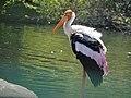Painted stork from ranganathittu.mysore.jpg
