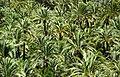 Palmeral de Elche.jpg