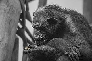 Chimpancé practicando la coprofagia