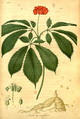 American ginseng - Image: Panax quinquefolius 00